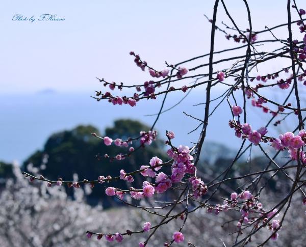 神戸新聞社主催 綾部山梅林写真コンテスト 入賞 作品名「笑顔の紅梅」