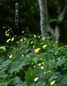 作品名「森の黄色い灯り」 植物名・キレンゲショウマ
